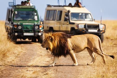 Portret die van grote leeuw de weg kruisen bij Masai Mara National Reserve, de jeeps van de toerist op achtergrond