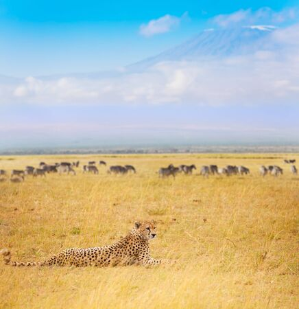 Cheetah laying on dried grass during the Great Migration with Kilimanjaro at background, Masai Mara National Reserve Stock Photo