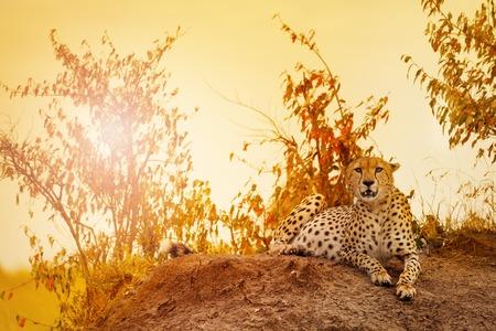 夕暮れ、マサイマラ国立保護区丘の上敷設雌チーターの肖像画