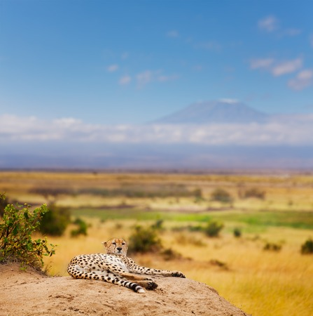 Portrait of African cheetah having rest, laying on a hill of Kenyan savanna, Masai Mara National Reserve