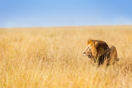Portrait of beautiful African lion hunting at wide spread of Kenyan prairie Фото со стока