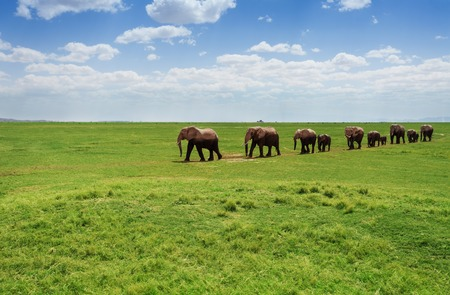 Herd of elephants walking at the African pasture Stock Photo