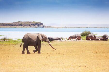 waterhole: Huge African elephant walking near the  waterhole Stock Photo