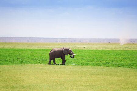 waterhole: Majestic elephant drinking water at a waterhole