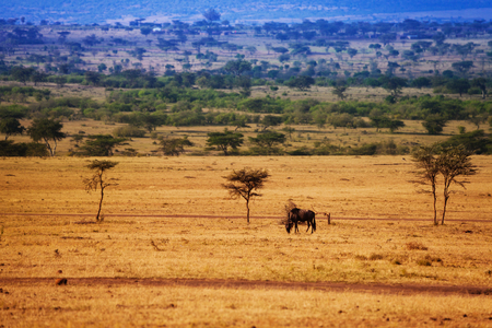 Landscape with wildebeest pasturing on dry grass