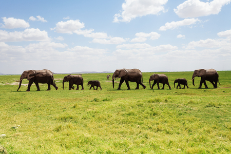 adult kenya: Line elephants family walking along the pasture