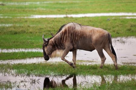Thirsty wildebeest drinking at waterhole, Kenya Stock Photo