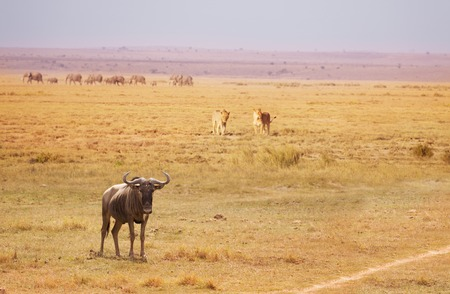 Two lionesses trailing wildebeest breaking a herd Stock Photo