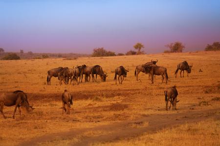 그레이트 마이 그 레이션 중 푸른 wildebeests의 무리