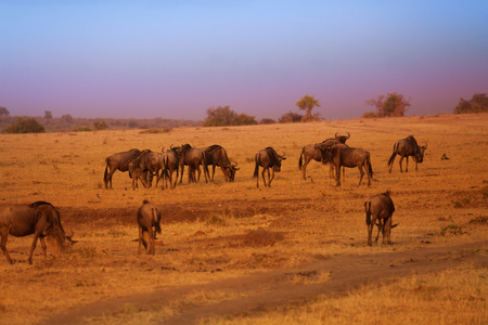 Herd of blue wildebeests during Great Migration