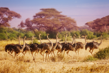 flightless: Big herd of female ostriches running at savannah Stock Photo