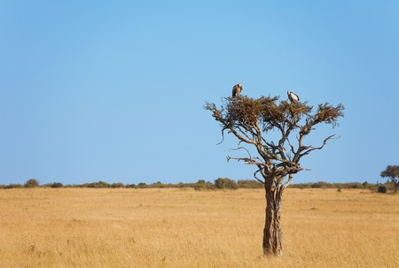White-backed vultures sitting on a dry wood Imagens