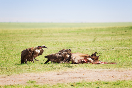 Vultures flock eating the carcass of a wildebeest
