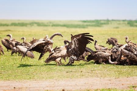 karkas: Aardbeien kudden op wildebeest karkas