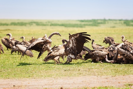 scavenger: Vultures herd crowding on wildebeest carcass Stock Photo