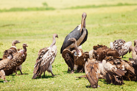 Marabou and vultures eating carrion in savannah