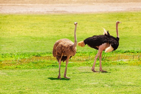 struthio camelus: Female and male ostriches at the pastures of Kenyan savannah, Africa