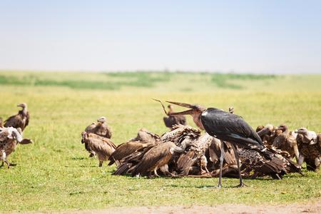 African marabou feeding among the vultures flock, Maasai Mara National Reserve, Kenya Stock Photo - 74016799