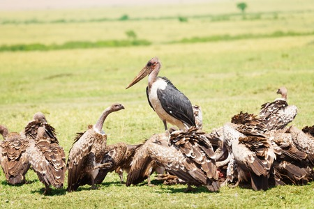 African marabou in the middle of vultures flock at Kenyan savannah Stock Photo