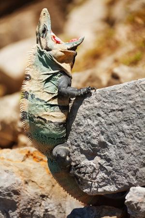 Varanus catching fly sitting on stone Stock Photo