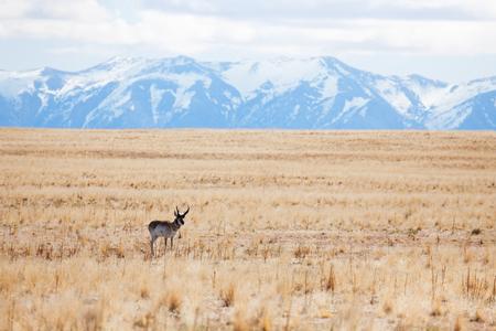 Deer standing alone at deserts of Antelope Island