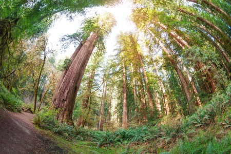 Path through the huge sequoia trees in California Stock Photo