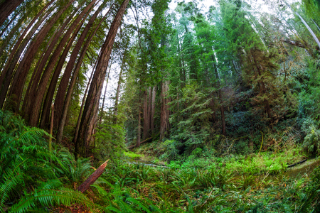 Scenic view of beautiful evergreen sequoias forest