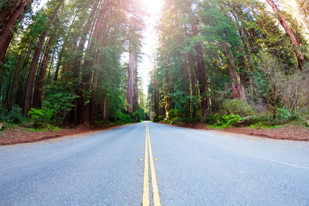 Long road through the Redwood National Park, USA