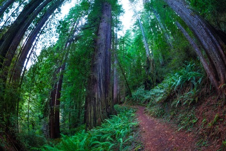 Fish eye view of a path through huge sequoia trees