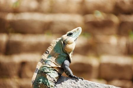 Varanus assis sur la pierre, Chichen Itza, Mexique Banque d'images - 76754479