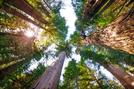 Sunbeams penetrating through branches of sequoias Stock Photo