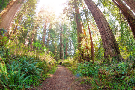 Path through old and huge sequoias in the sun Stock Photo
