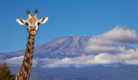 Portrait of giraffe head against Kilimanjaro mount Imagens