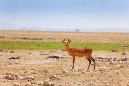 Portrait of oribi standing in deserted savanna