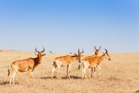アフリカ、ケニアのサバンナの放牧全般の群れ 写真素材