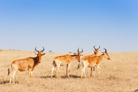 Herd of topis pasturing in Kenyan savannah, Africa