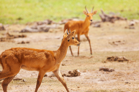 Pair of male oribi walking in Kenyan savannah