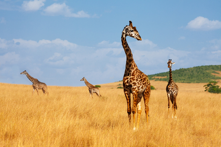 Herd of giraffes walking in arid Kenyan savannah