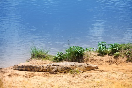 Portrait of Nile crocodile basking in the sunshine