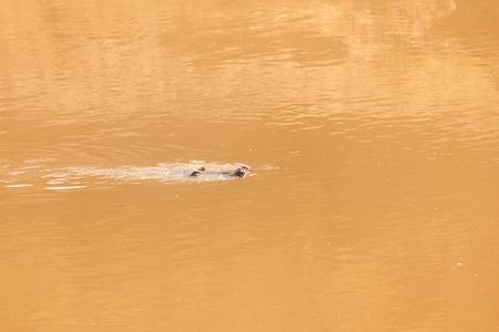 Nile crocodile swimming through the river