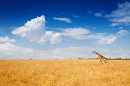 乾いた草で歩くキリンとケニアのサバンナ