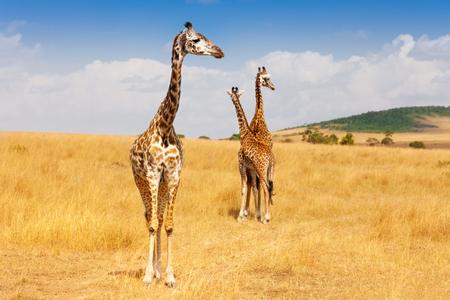 ケニアのサバンナの乾燥草の中に立っているキリン