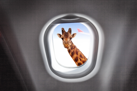Giraffe looking through a planes window