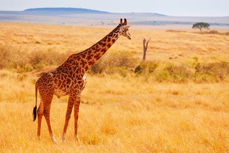 大人のキリン立っている乾燥したケニアのサバンナで
