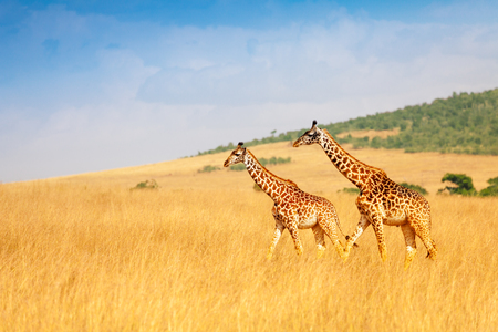 Masai giraffes walking together in Kenyan savanna