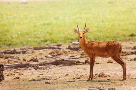 Beautiful oribi standing in grassland of savanna Stock Photo