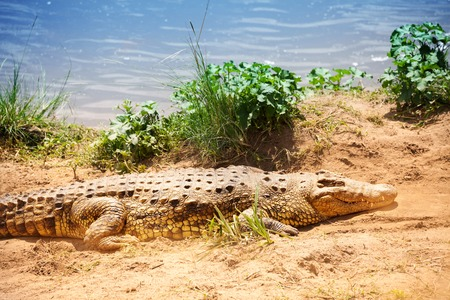 niloticus: Portrait of Nile crocodile laying on the sand Stock Photo