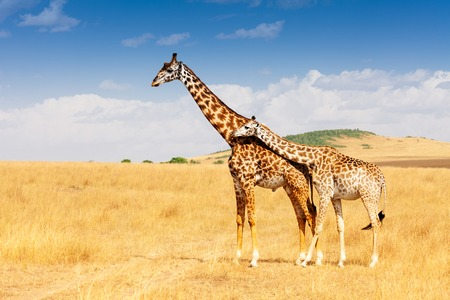 necking: Giraffe and calf standing together in savanna