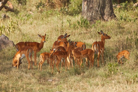 Female impalas with calves pasturing in woodland