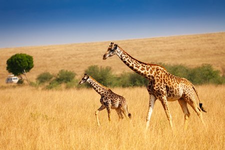 Mother giraffe walking with little calf in savanna Stockfoto